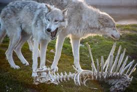 51b63-wolves